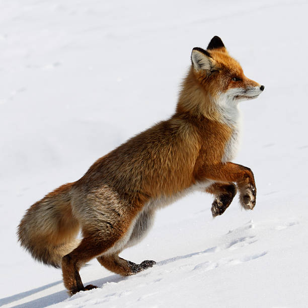 running fox. - fox stock photos and pictures
