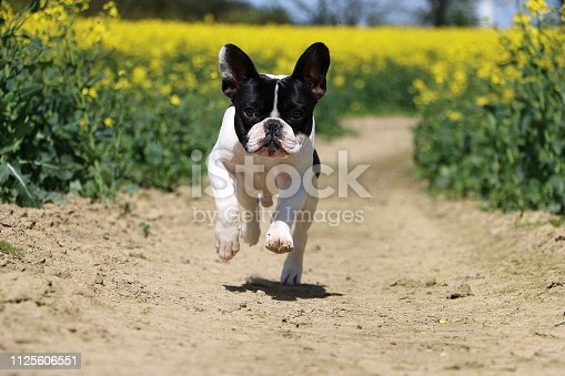 beautiful french bulldog is running in a rape seed field in the sunshine