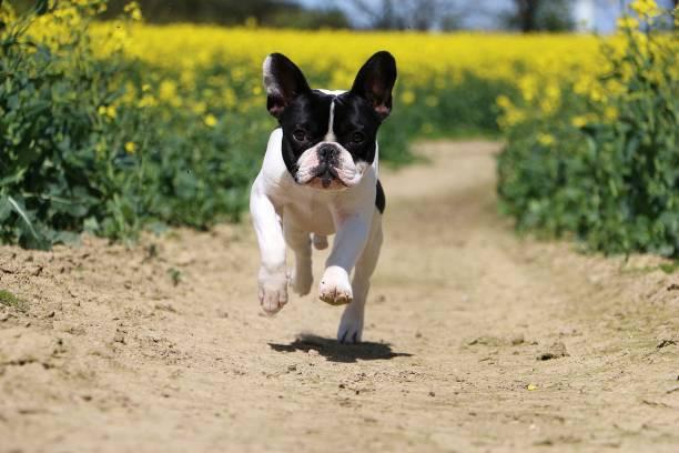 französische Bulldogge ausgeführt – Foto
