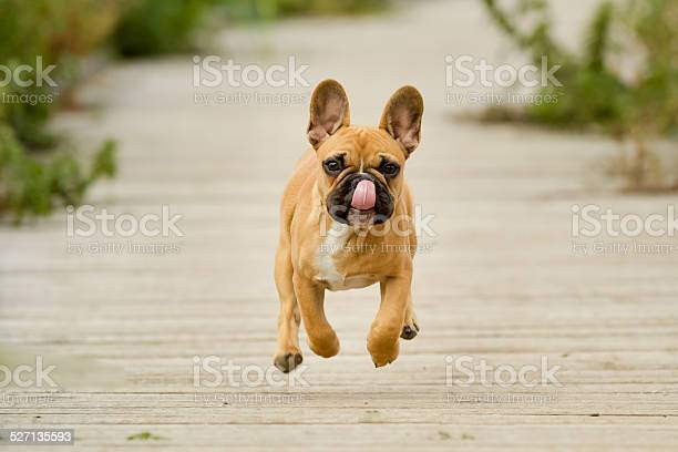 Running french bulldog puppy picture id527135593?b=1&k=6&m=527135593&s=612x612&h= ld3ap2cvdjrctq3m8xbos1zx4obzx8eturiw7c 4ie=