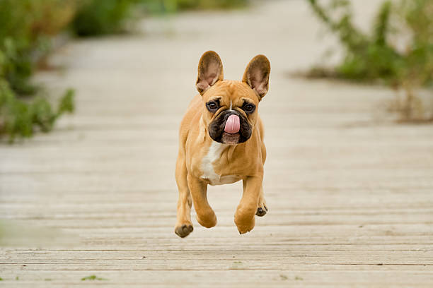 Running French Bulldog Puppy Purebred dog outdoors on a summer day. french bulldog stock pictures, royalty-free photos & images