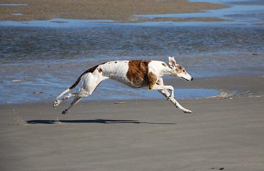 running galgo at the beach