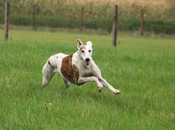 running galgo in the park galgo is running in the garden sight hound stock pictures, royalty-free photos & images