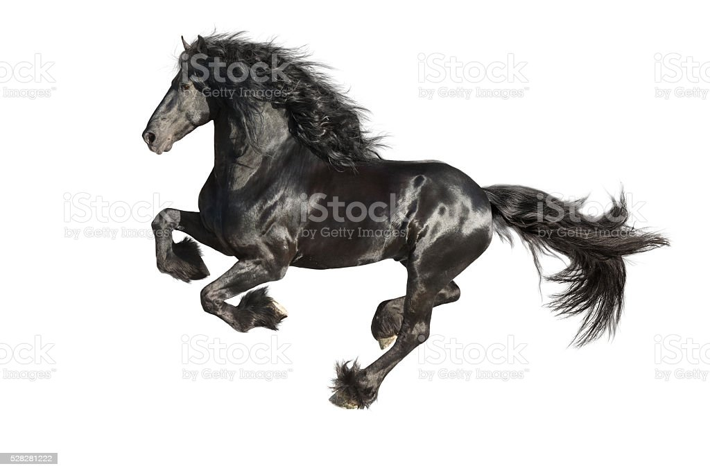 Running gallop Friesian black horse isolated on the white stock photo