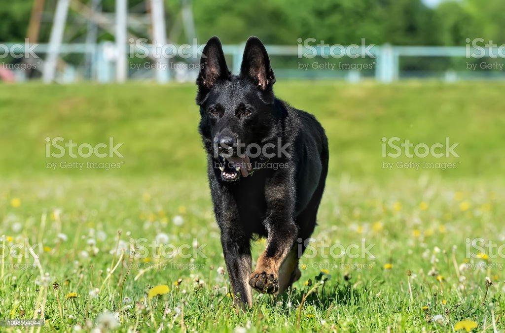An adult male black and tan German Shepherd Dog runs across the...