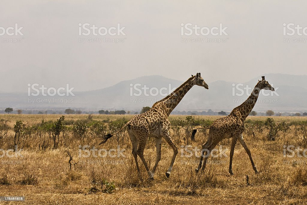 Running giraffas stock photo