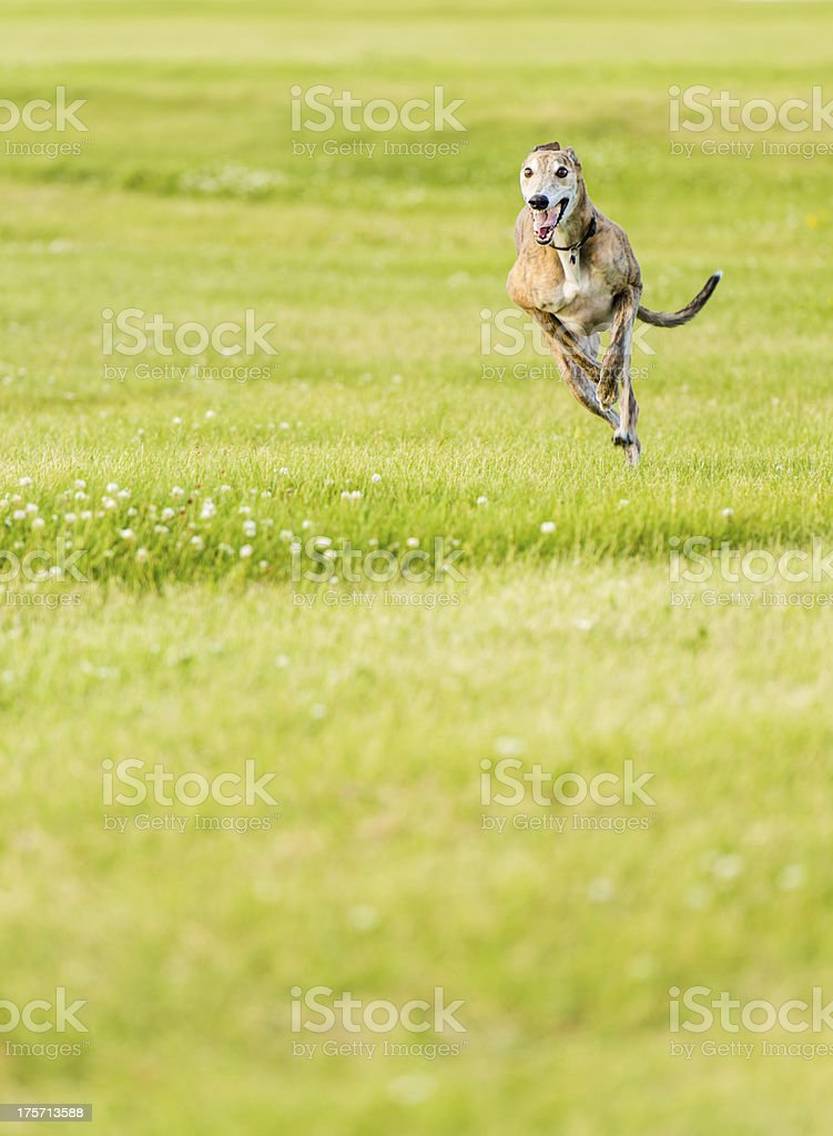 Running Greyhound with copy space stock photo