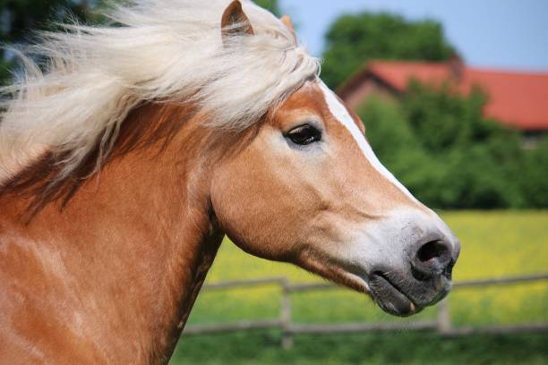 running haflinger horse head portrait beautiful haflinger horse head portrait while he is running on the paddock palomino stock pictures, royalty-free photos & images