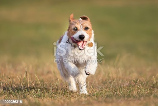 1053642922 istock photo Running happy pet dog jumping in the grass 1209036318