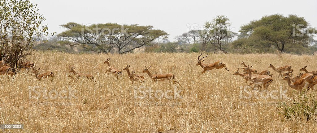 Running Herd of Impala stock photo