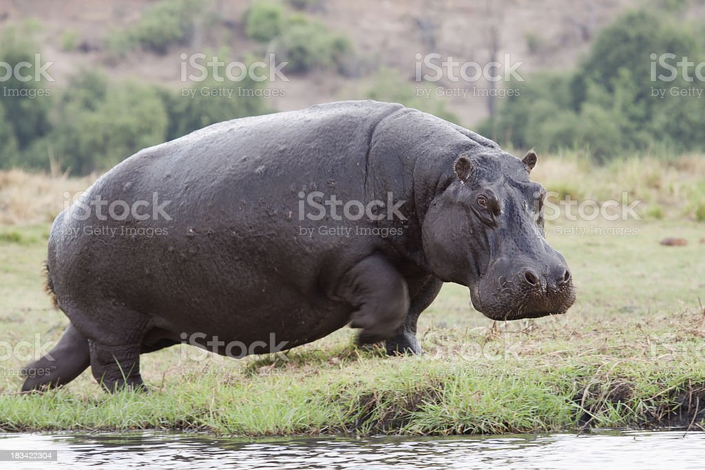 Running Hippo stock photo