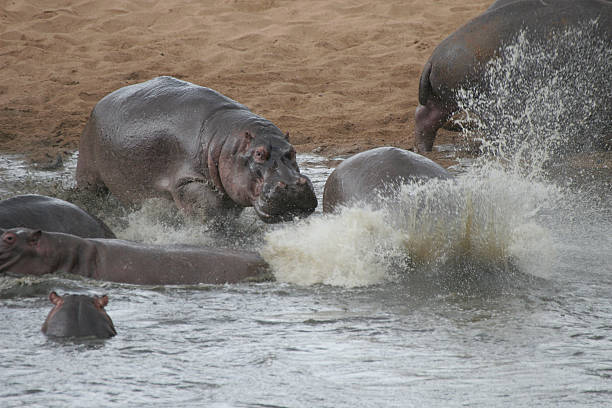 running hippos - hippo tail stock photos and pictures