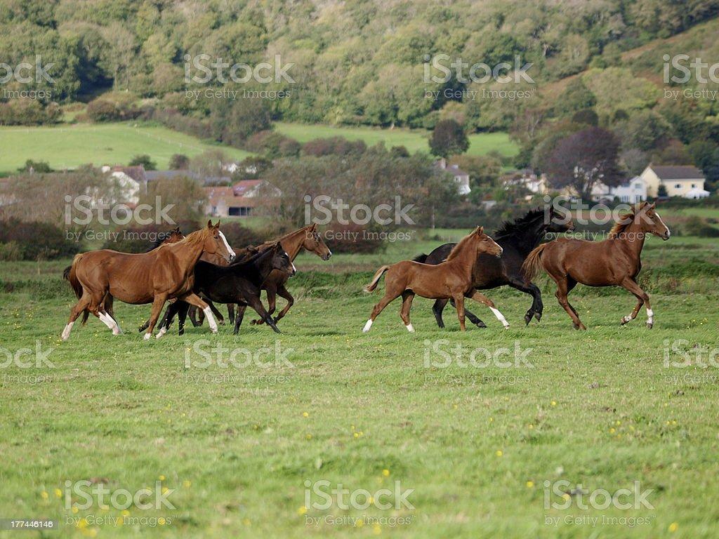 Running Horse Herd royalty-free stock photo