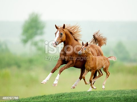 istock Running horse in meadow. Summer day 483297786