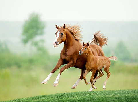 Running horse in meadow. Summer day