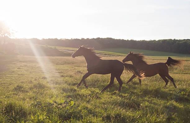 Running horses (sundown) stock photo