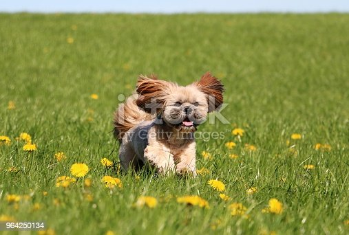 small lhasa apso is running on a field with dandelions
