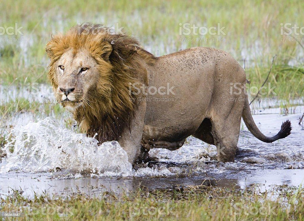 Running-Lion – Foto