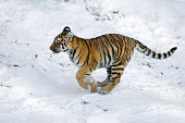 Little siberian tiger in winter. Please have a look at my other tiger- and big cat photos.