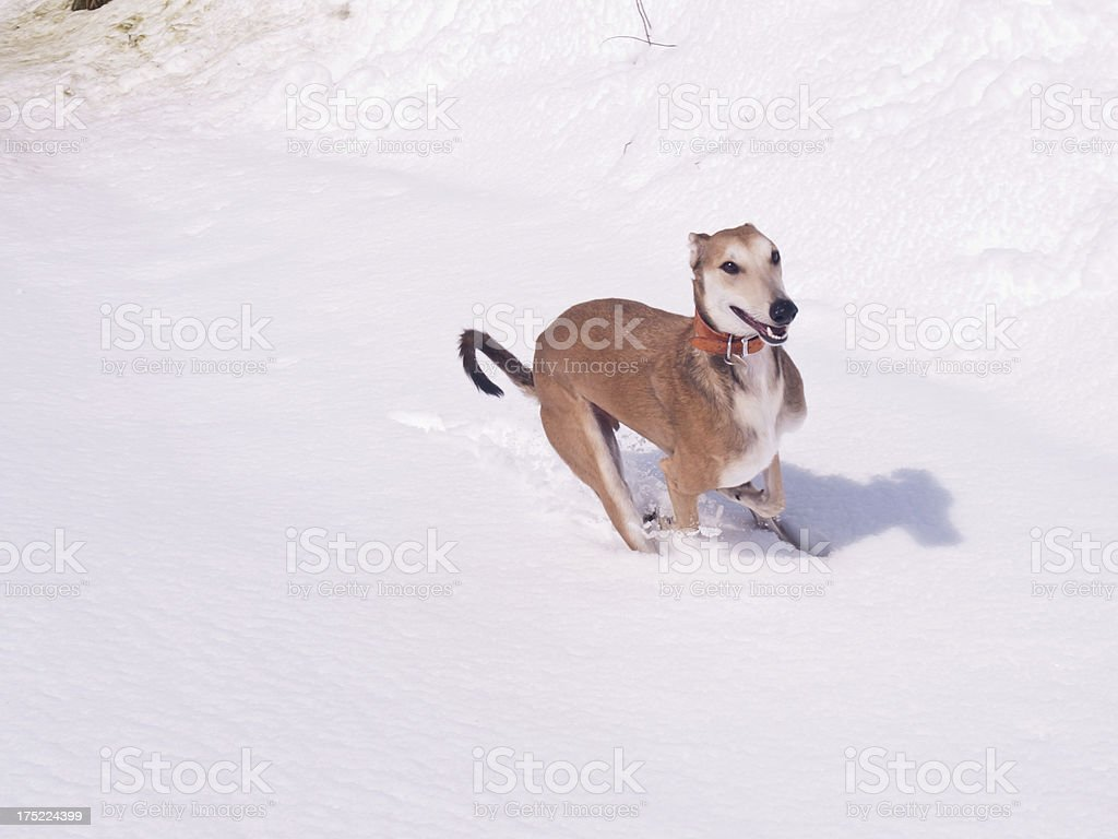 Running Lurcher in the snow stock photo