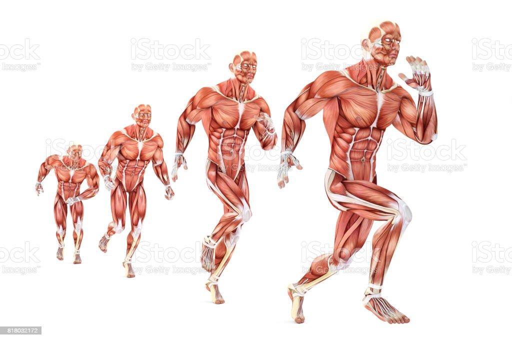 Fotografía de Anatomía De Hombre Corriente Ilustración Médica ...