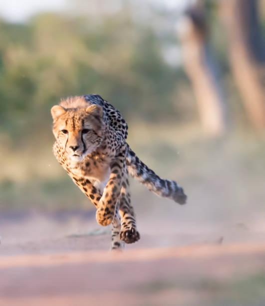 running man - jachtluipaard stockfoto's en -beelden