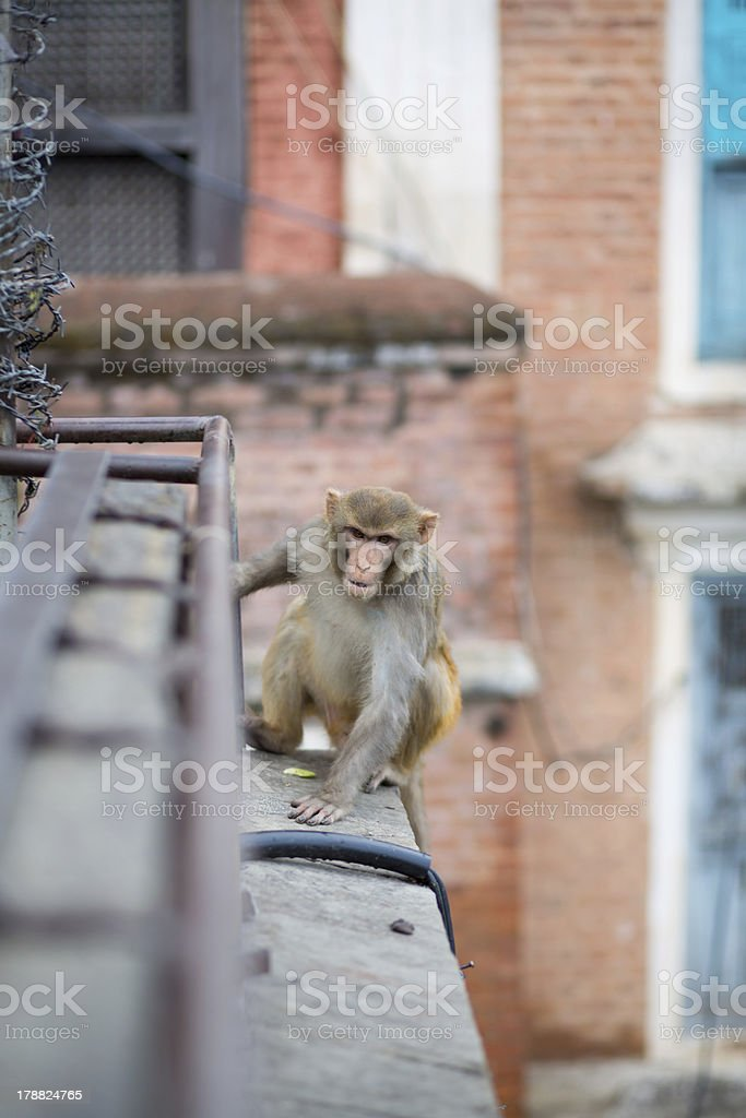 Running monkey in Kathmandu royalty-free stock photo