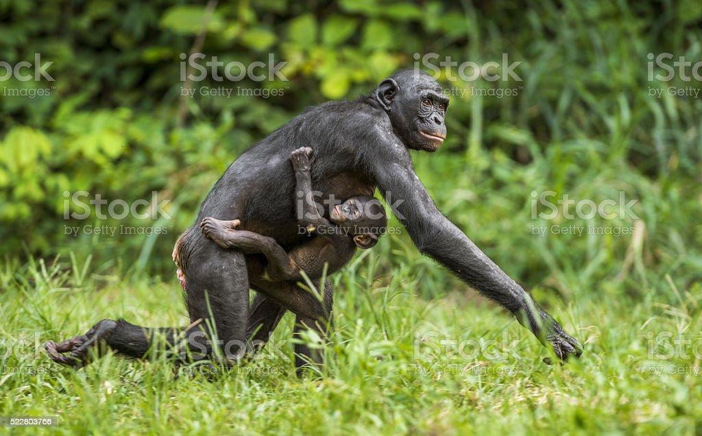 Running Mother and Cub of chimpanzee  Bonobo in natural habitat. stock photo