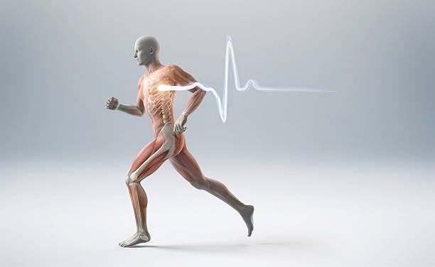 Running muscle anatomy man Running man showing muscles, bones and a heart beart pulse biomedical illustration stock pictures, royalty-free photos & images