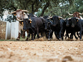 Stampede of spanish fighting bulls