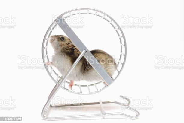 Running pet hamster in a wheel picture id1140677489?b=1&k=6&m=1140677489&s=612x612&h=ygu6omsj2tuede7ucpebuucnp1w5dlwcoprorp3roq4=