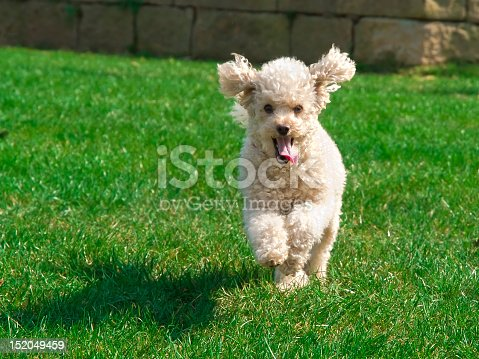 Young dog running through the grass.