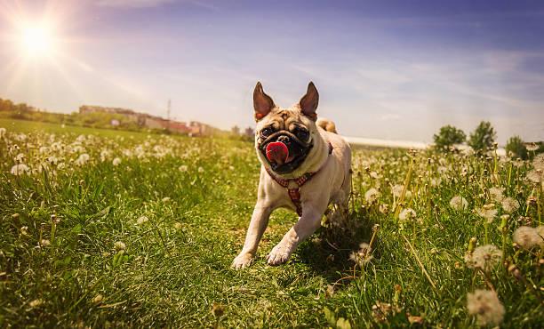 Running pug stock photo