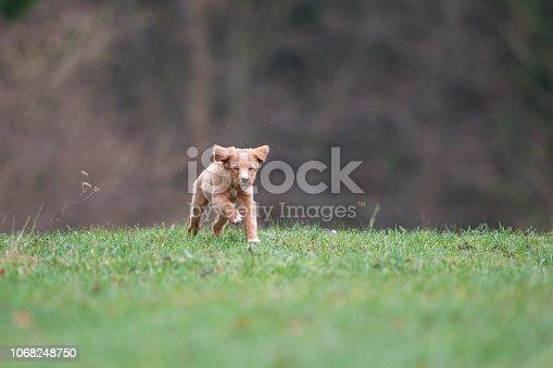 istock Running puppy 1068248750