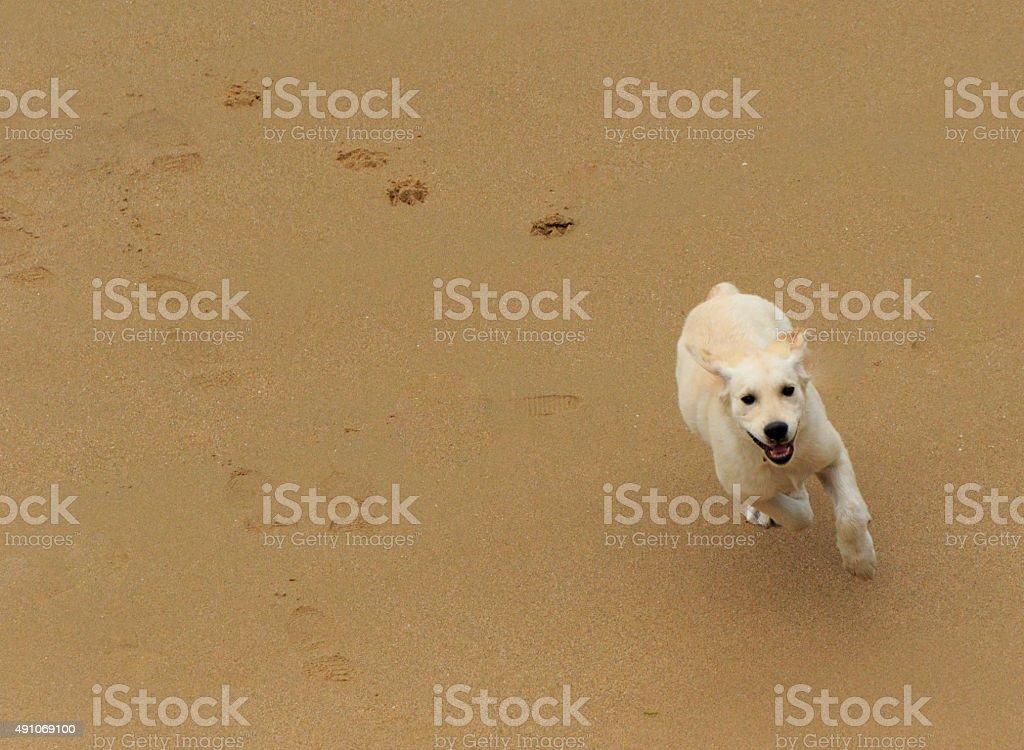 Running Puppy stock photo