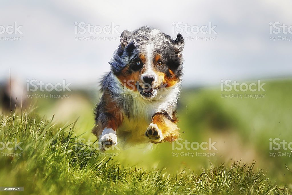Running Rassehund – Foto