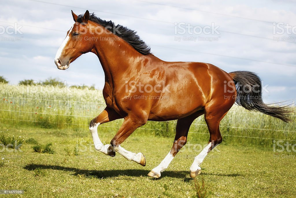 Running purebred horse stock photo