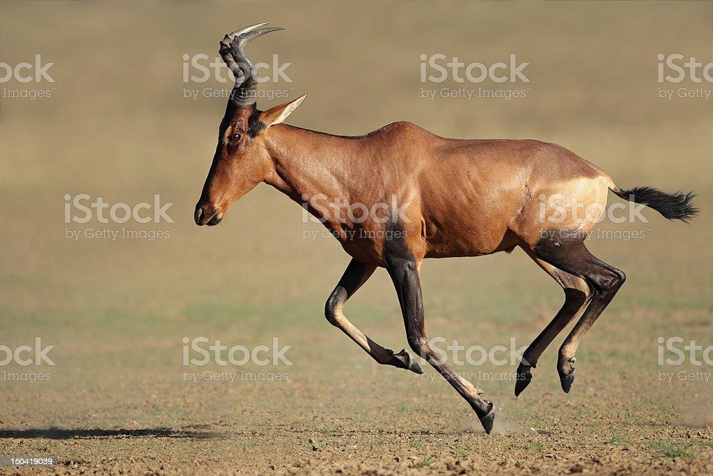 Running red hartebeest stock photo