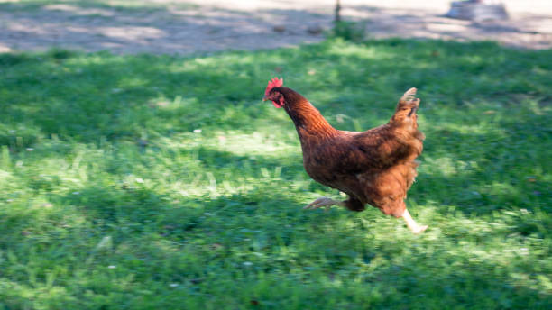 royalty free running chickens pictures images and stock photos istock