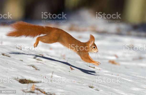 Photo of Running red squirrel (Sciurus vulgaris) in winter