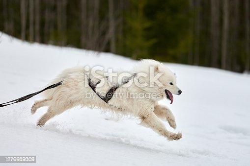 istock Running Samoyed dog on sled dog racing 1276989309