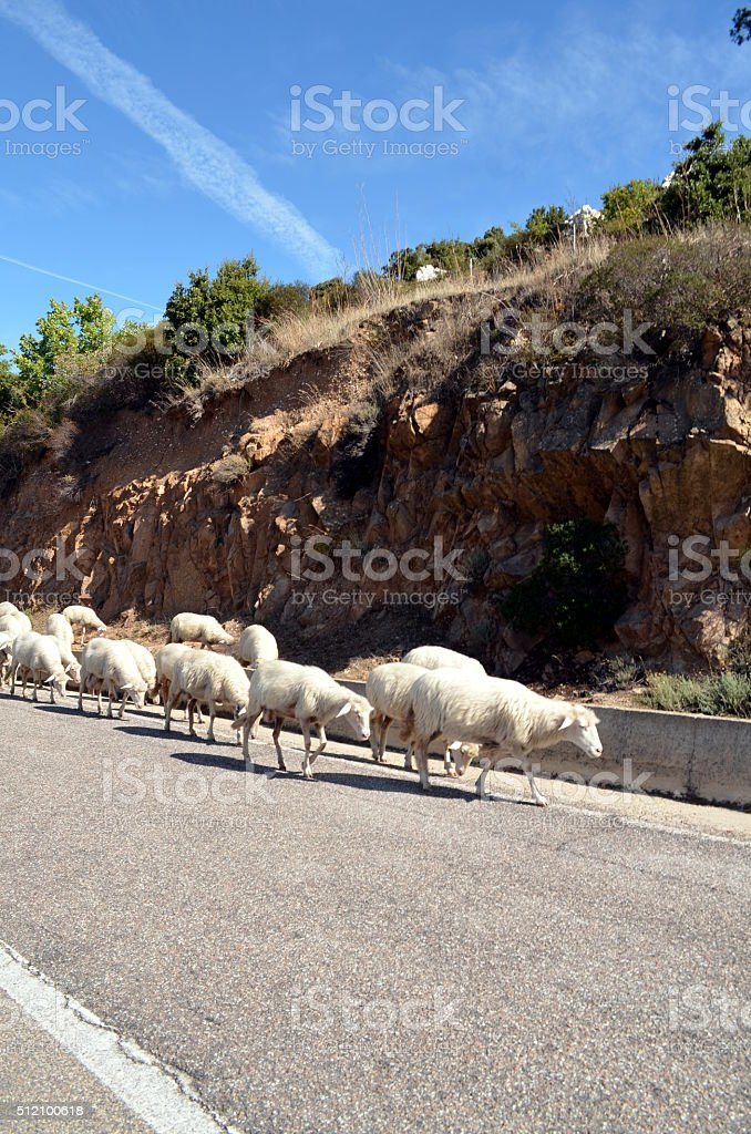 running sheeps on the road in Sardinia stock photo