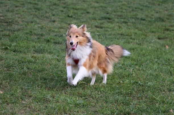 Sheltie Hund ausgeführt – Foto