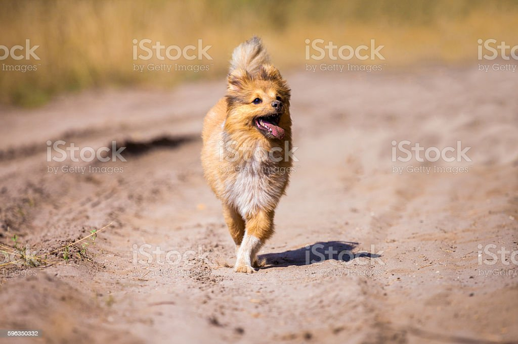 running shetland sheepdog on a dirty road royalty-free stock photo