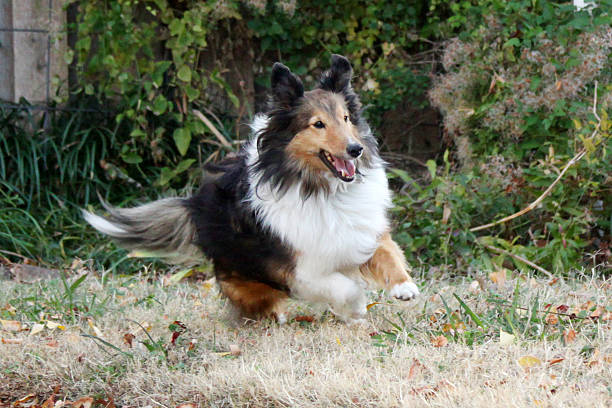 Running Shetland Sheepdog stock photo