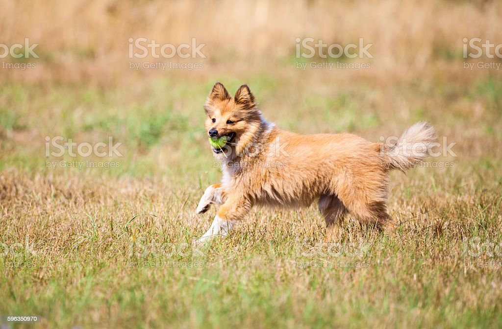 running shetland sheepdog with a ball Lizenzfreies stock-foto