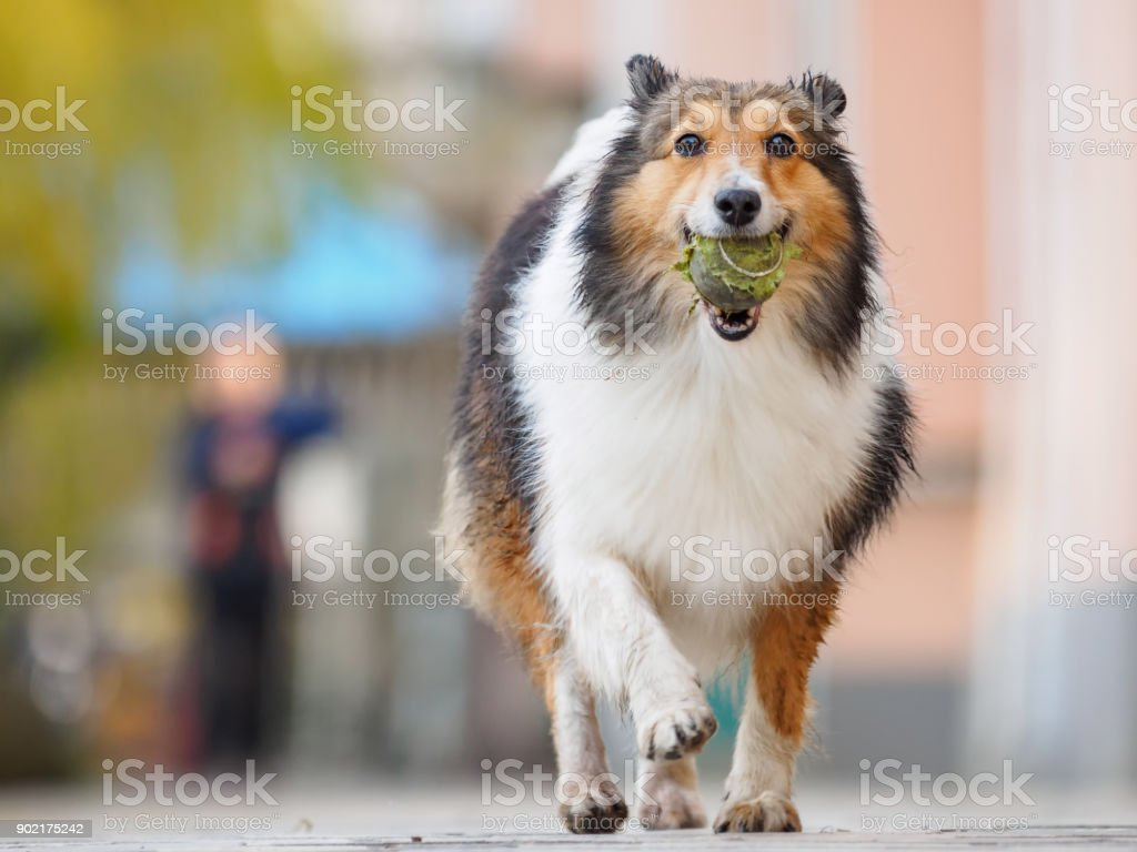 Running shetland sheepdog with ball in mouth, happy retrieving, low angle view stock photo