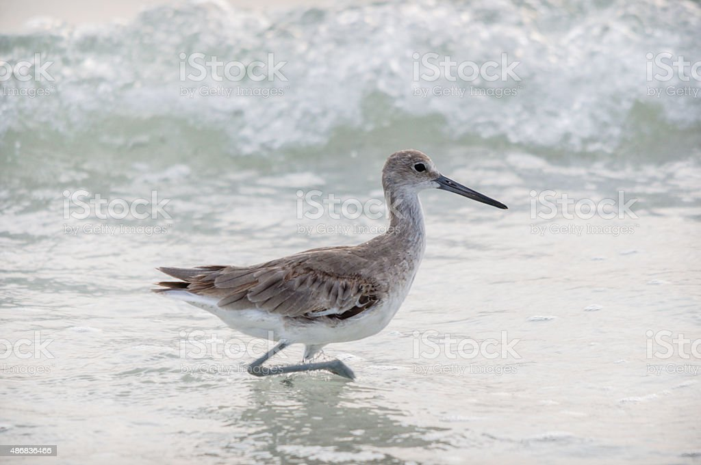 Running shorebird stock photo