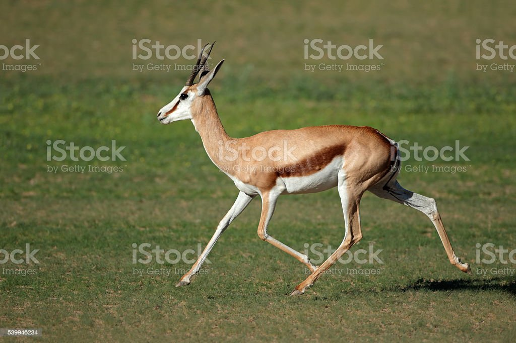 Running springbok antelope stock photo