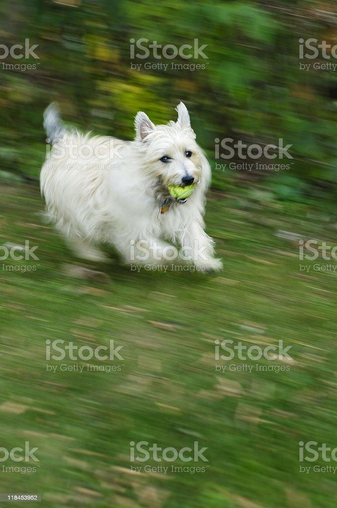 Running Terrier stock photo